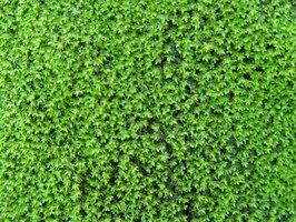 Green moss can be a problem when it grows on your roof.