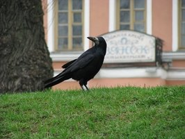 Ravens are large, intelligent birds that can overwhelm an area with pure numbers.