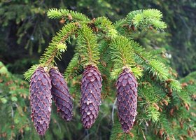 Pine cones contain the seeds for new pine trees.