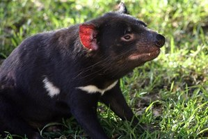 Tasmanian devils are one of the many creatures on the endangered species list.