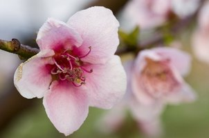 Beautiful pink flowers are one reason to plant a weeping peach.