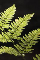 Ferns are nonflowering plants.