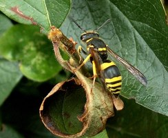 Wasps are beneficial to plants and flowers, but many people are allergic to their sting.