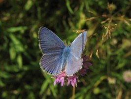 Western pygmy blue butterfly - photo#28