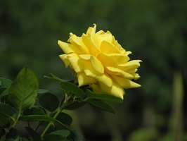 Yellow blossoms on a rose plant are desirable; yellow leaves are a call to action.