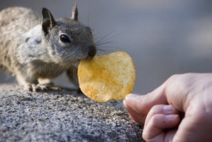 When hungry, squirrels will eat almost any food.