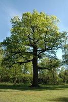 Oak Trees and Their History
