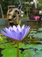 The blue lotus is a flower synonymous with Egypt.