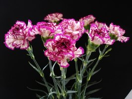 Make your own carnation bouquet.