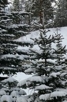 Snow-covered spruce trees