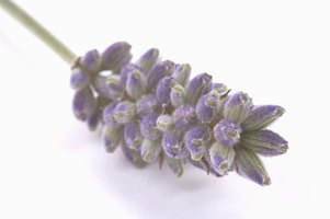 Preserve the scent of lavender by harvesting, drying and storing it correctly.