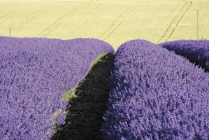 The scent of lavender helps promote relaxation.