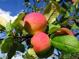 Apples are just one kind of many fruits that occur on flowering plants.