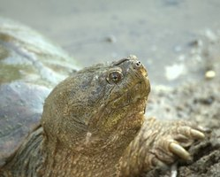 Adult snapping turtles require a large habitat and can be dangerous pets.