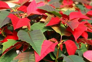 Poinsettias are popular Christmas plants.