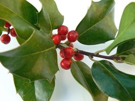 Meserve Hybrid Holly, a pest-free form of evergreen.