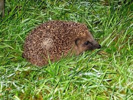 Each hedgehog patrols its home range in search of insects.
