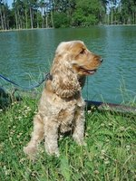 Cockapoos are a combination of cocker spaniels and poodles.