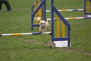 Agility training involves teaching your dog to complete an obstacle course.