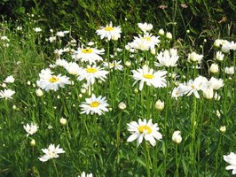 Shasta daisies are a well-known favorite.