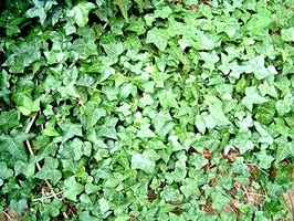 English ivy is classified as invasive in several states.
