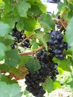 Grape vines can be rewarding to grow at home.