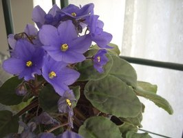 African violet is a very common indoor house plant.
