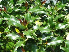 Diagnosing holly bush diseases