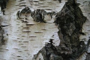 Silver birch has a distinct silver-white bark.