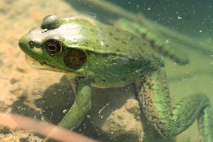 Frog ponds can be as large or small as you want.