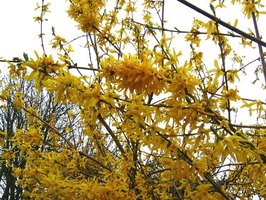 Forsythia is a shrub that grows well on slopes.