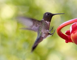 To identify its species, look at the hummingbird's gorget, crown, tail and bill.