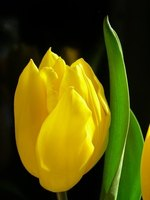 Some flowers are similar to tulips.