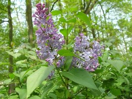 Lilac shrubs come in four main colors.