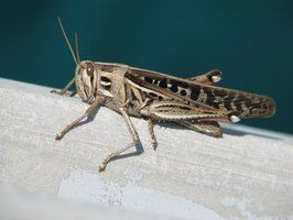 Crickets and grasshoppers look very similar at first glance.