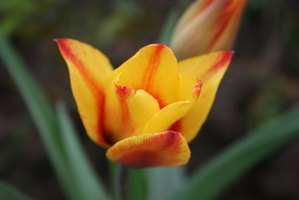 A tulip is a classified as a monocot.