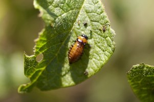 Lawn grubs are offspring of beetles and they can kill garden plants.