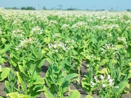 When flowers start growing on your tobacco plant, the leaves are ready to harvest.