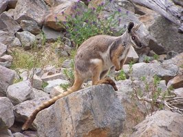A wallaby in its natural rocky habitat