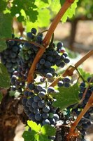 Prune grape vines to grow healthy grapes.
