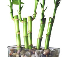 Lucky bamboo plants are native to Asian regions and will complement your decor.