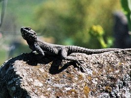 The northern fence lizard eats insects primarily.