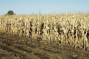 Ethanol from corn has become a common but controversial alternative fuel in the United States.