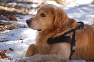Diabetic service dogs alert their owners to changes in blood sugar.