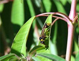 Wasps and hornets are an important part of a garden's ecosystem