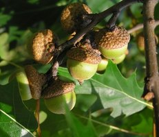 The Northern Red Oak acorn has a small cap.
