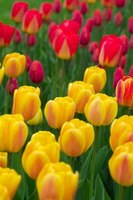 Take some special steps to plant tulips in Florida.