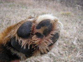 A dog's paw can become cracked sometimes.