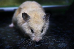 Hamsters that experience illness can become seriously ill rather quickly.
