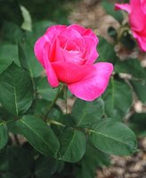 The rose is a vascular plant.